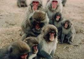 Groep makaken